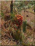 SJ2504 : Fungus on a tree stump by Penny Mayes