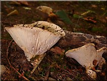 SJ2504 : Fungus in the wood by Penny Mayes