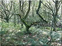 SE0722 : Tree in woodland off Dye House Lane, Norland by Humphrey Bolton