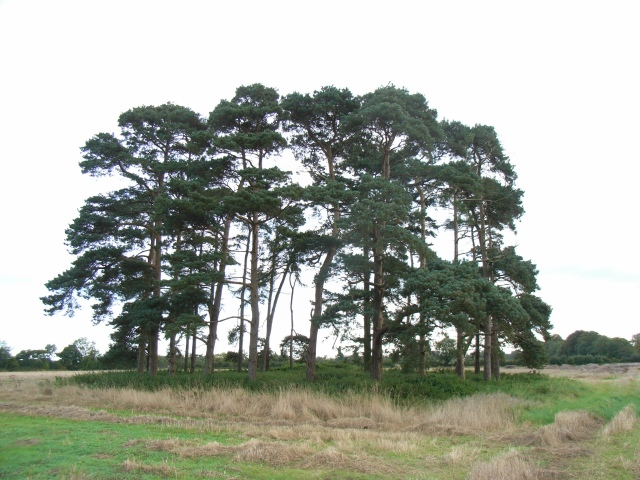 Stand of Trees at Rathnally, near Trim, Co. Meath