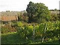 TQ8029 : Vines & Hops Garden at Sandhurst Vineyard, Kent by Oast House Archive