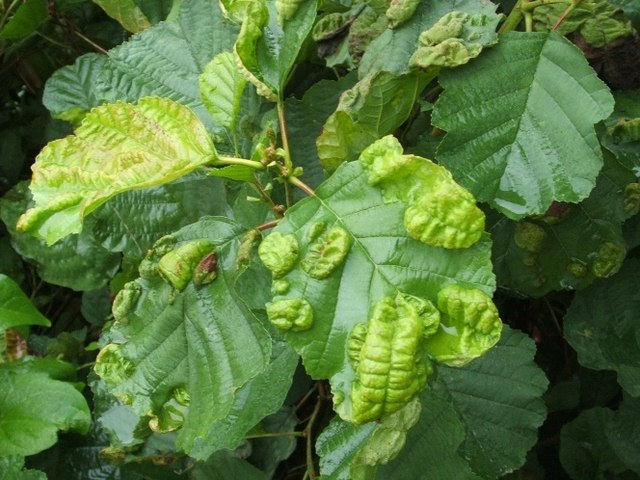 Leaf galls on common alder