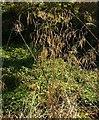 SX8573 : Tall grass by the Templer Way by Derek Harper