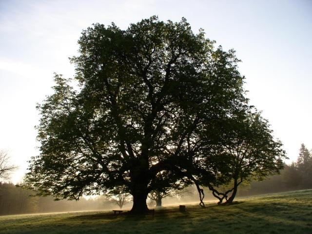 Tree in Dun na Rí Forest Park, near Kingscourt, Co. Cavan