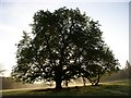 N7897 : Tree in Dun na Rí Forest Park, near Kingscourt, Co. Cavan by JP