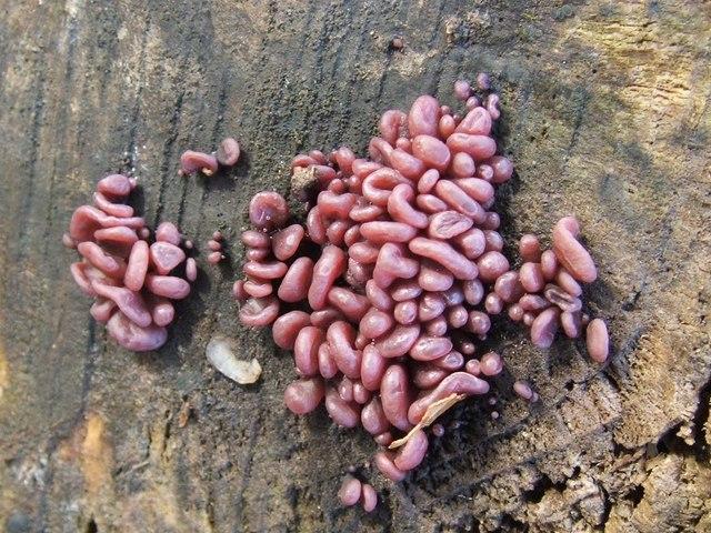 Purple Jellydisc Fungus (Ascocoryne sarcoides)